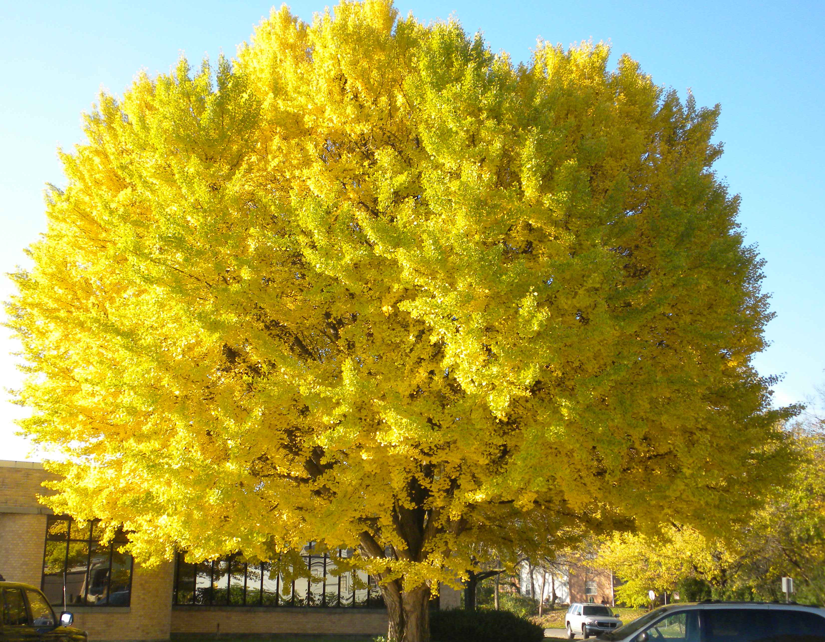 the ginkgo tree Learn about ginkgo biloba, a tree prized for its autumn show of buttery-yellow leaves, that is also one of the the most reliable and common street trees.